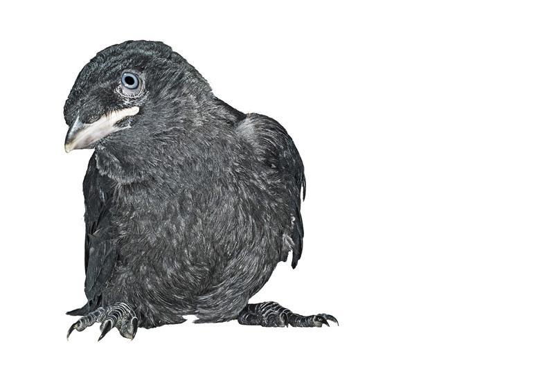 Галка Фотопроект Гэвина Парсонса Baby birds