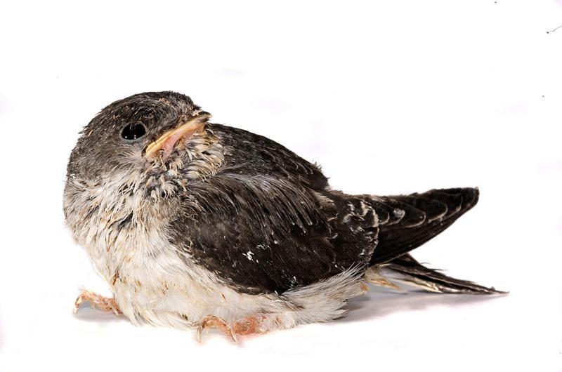 Городская ласточка Фотопроект Гэвина Парсонса Baby birds