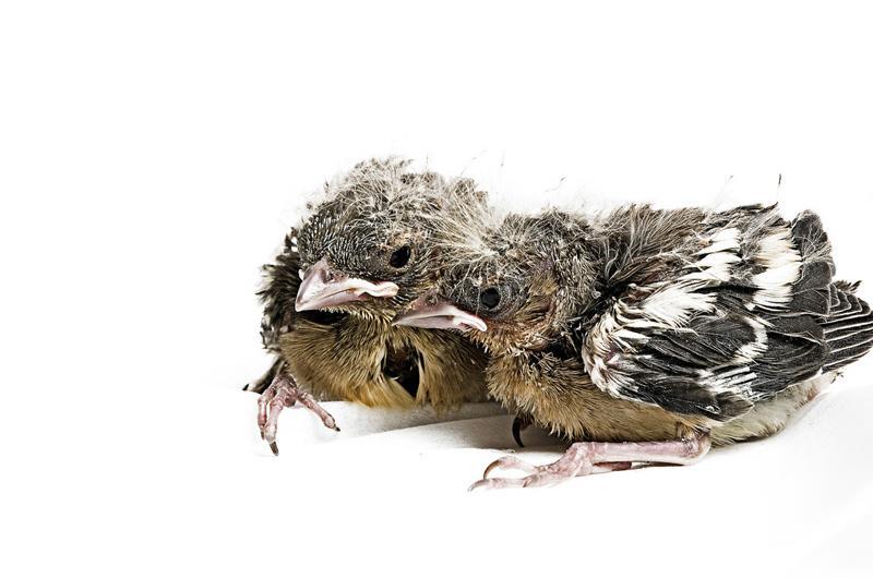 Зяблик Фотопроект Гэвина Парсонса Baby birds