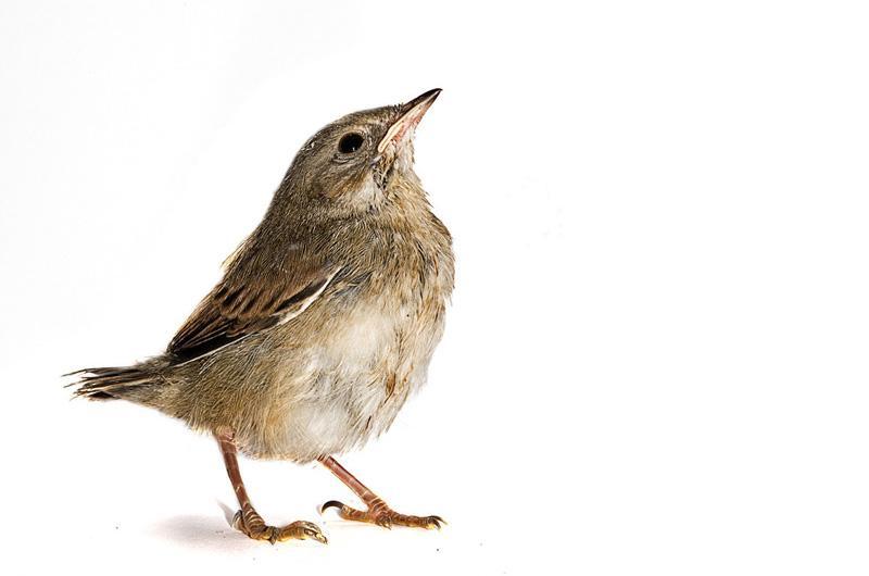 Камышовая овсянка Фотопроект Гэвина Парсонса Baby birds