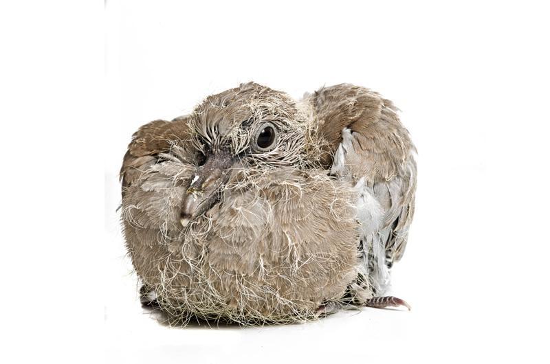 Кольчатая горлица Фотопроект Гэвина Парсонса Baby birds