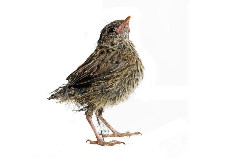 Лесная завирушка Фотопроект Гэвина Парсонса Baby birds