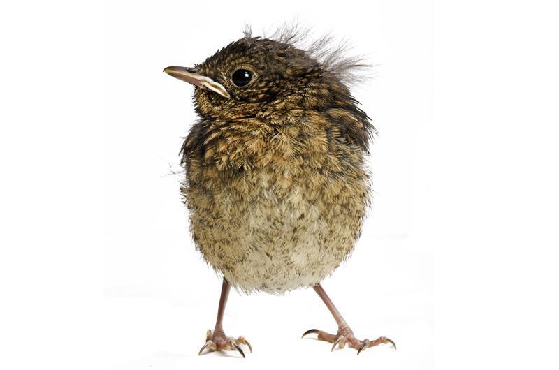 Малиновка Фотопроект Гэвина Парсонса Baby birds