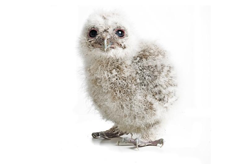Серая неясыть Фотопроект Гэвина Парсонса Baby birds