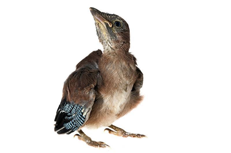 Сойка Фотопроект Гэвина Парсонса Baby birds