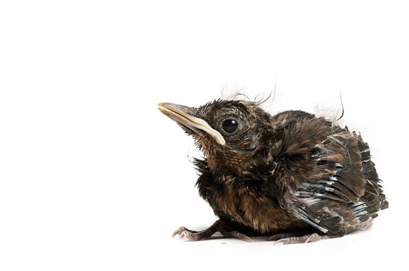 Чёрный дрозд Фотопроект Гэвина Парсонса Baby birds