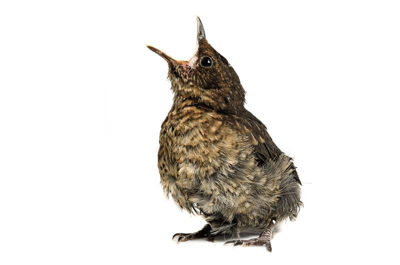 Чёрный дрозд2 Фотопроект Гэвина Парсонса Baby birds