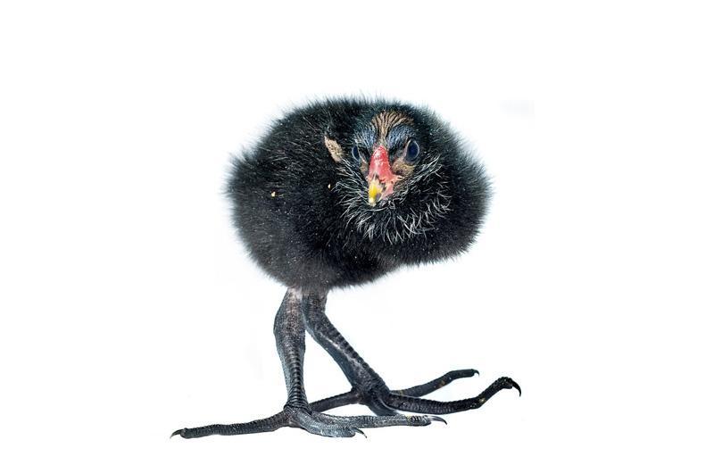 Шотландская куропатка Фотопроект Гэвина Парсонса Baby birds