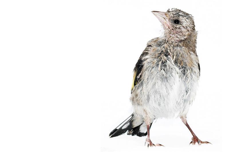 Щегол Фотопроект Гэвина Парсонса Baby birds