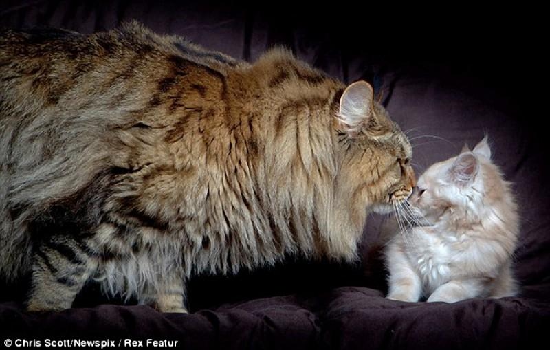 0024 800x509 Руперт   самый крупный кот в мире