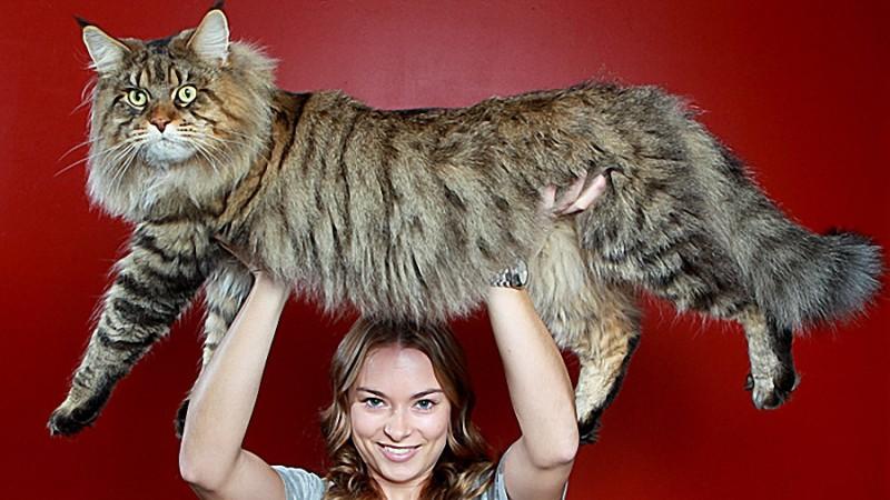 0034 800x450 Руперт   самый крупный кот в мире