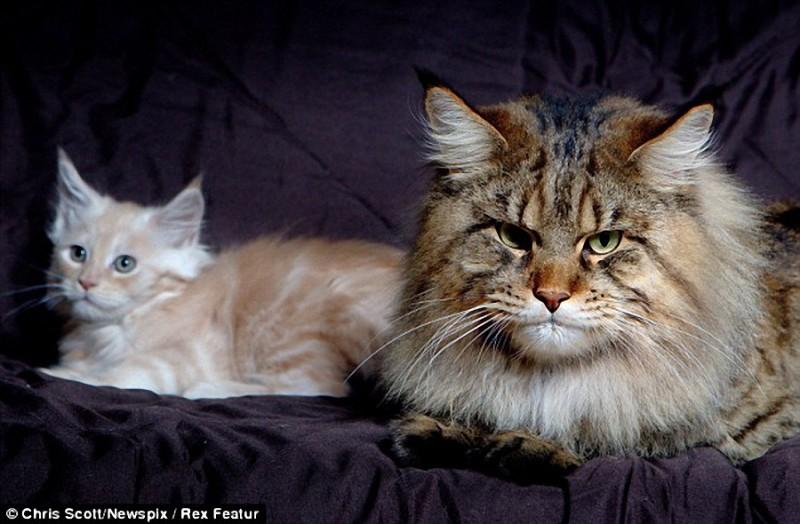 0043 800x524 Руперт   самый крупный кот в мире