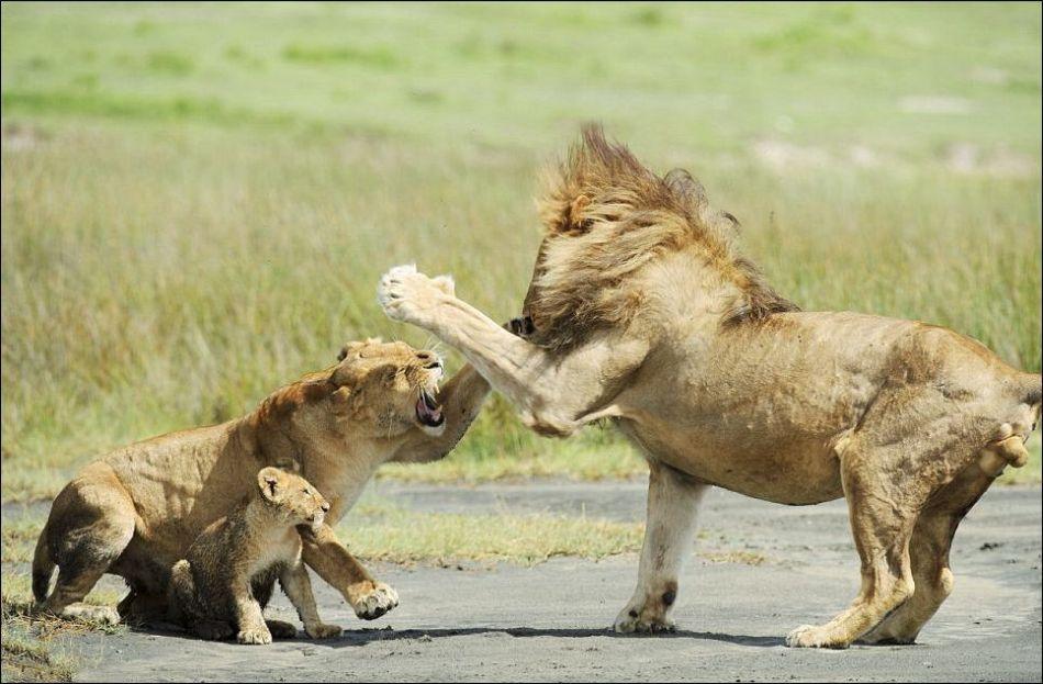 0215 Удивительные и эмоциональные кадры: Львиные разборки