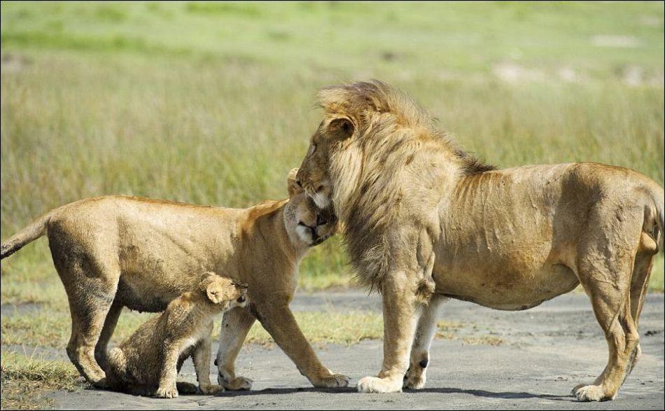 0415 Удивительные и эмоциональные кадры: Львиные разборки