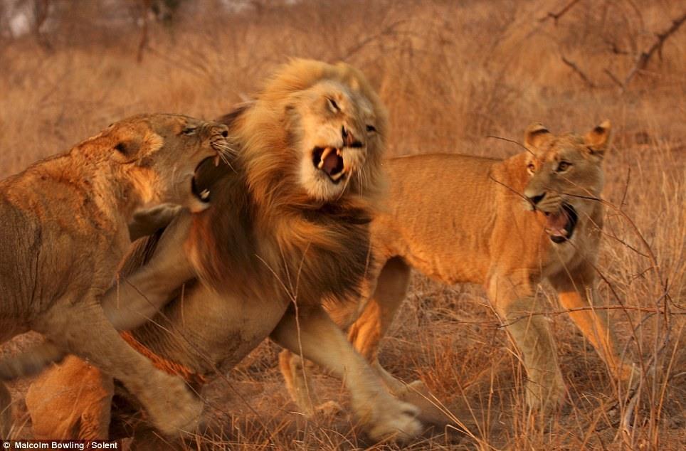 0 44bb1 a6cdebda XXL Удивительные и эмоциональные кадры: Львиные разборки