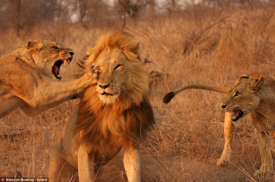 Картинки со львом и львицей он ее держит за хвост, днем рождения милая