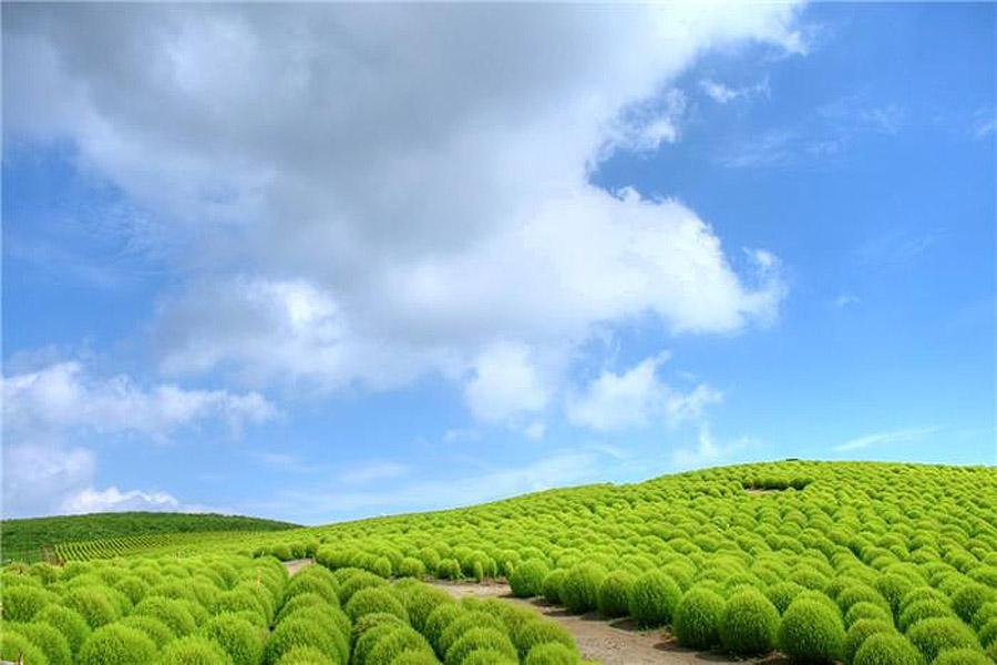 1037 Рассветная страна цветов «Hitachi Seaside Park»