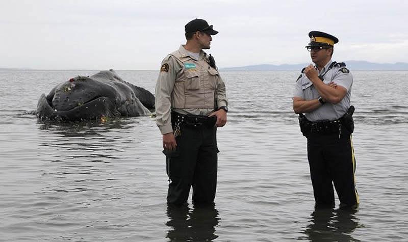 1065 Еще одна жертва человека: молодой кит горбач с нейлоновой леской во рту