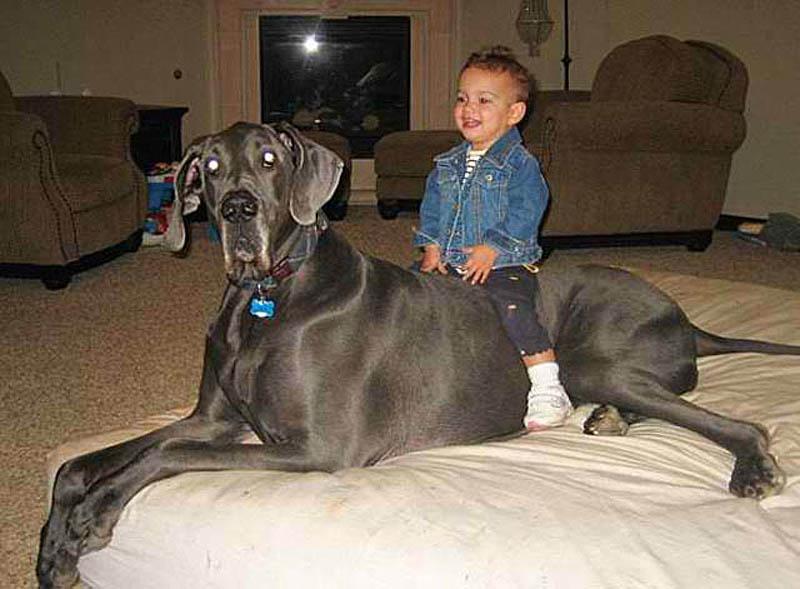 1090 Собака великан