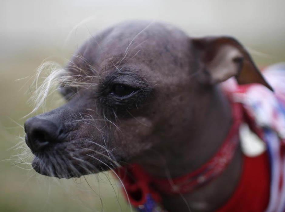 11152 Конкурс на самую уродливую собаку 2012