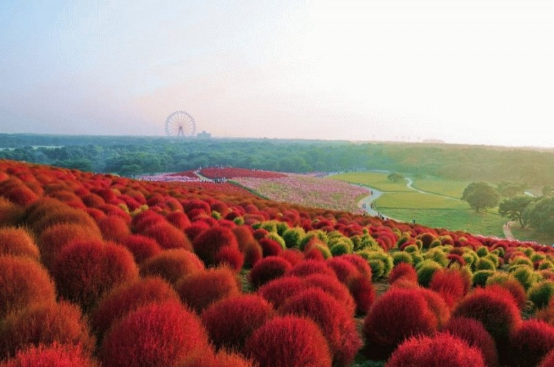 1145 800x530 Рассветная страна цветов «Hitachi Seaside Park»