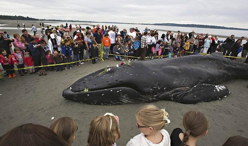1200 Еще одна жертва человека: молодой кит горбач с нейлоновой леской во рту