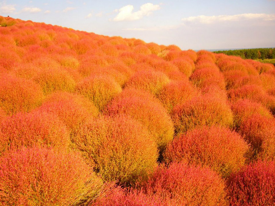 1237 Рассветная страна цветов «Hitachi Seaside Park»