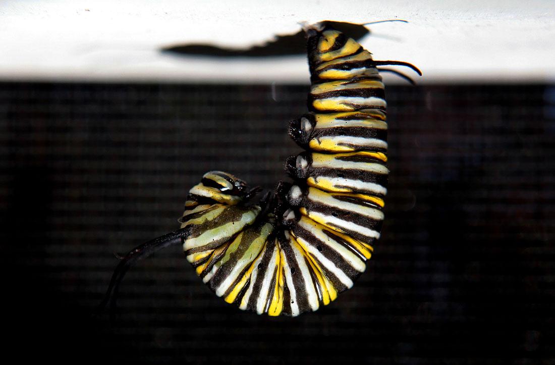 1243 Метаморфозы и рождение бабочки монарха