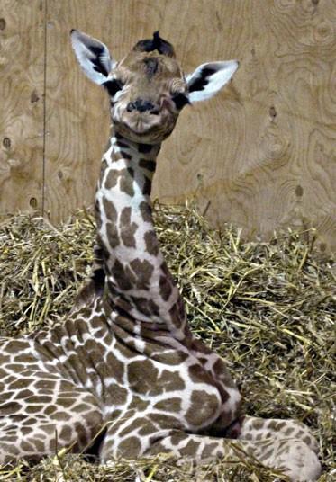 1305 Новорожденный жираф в Бристольском зоопарке