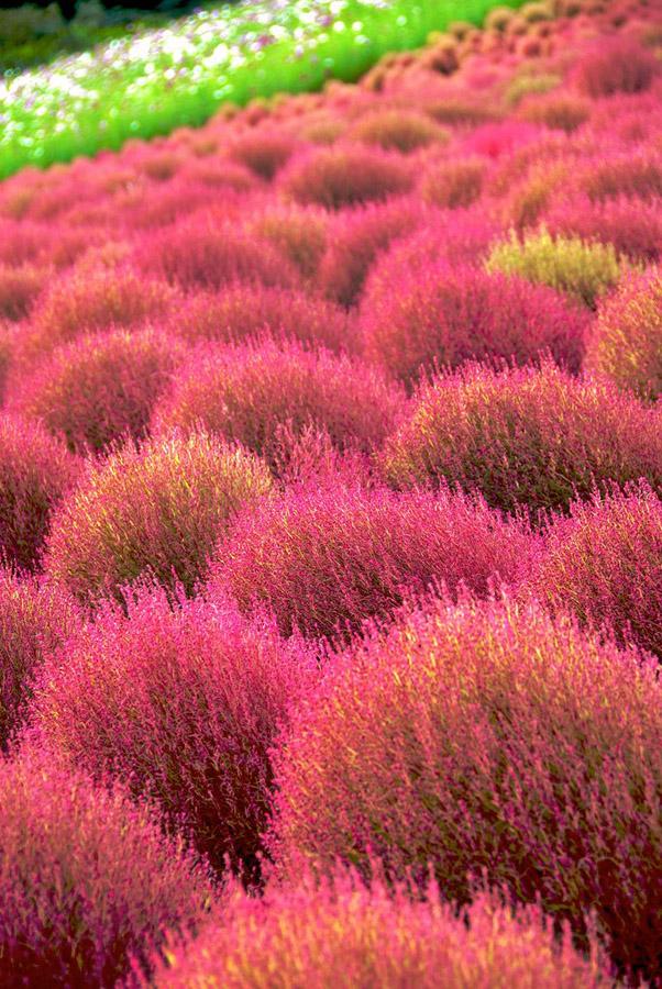 1335 Рассветная страна цветов «Hitachi Seaside Park»