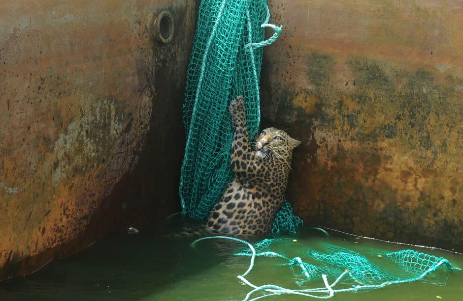 1390 Осталось восемь жизней   дикий леопард спасся, упав в резервуар с водой
