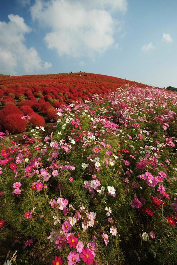 1430 Рассветная страна цветов «Hitachi Seaside Park»