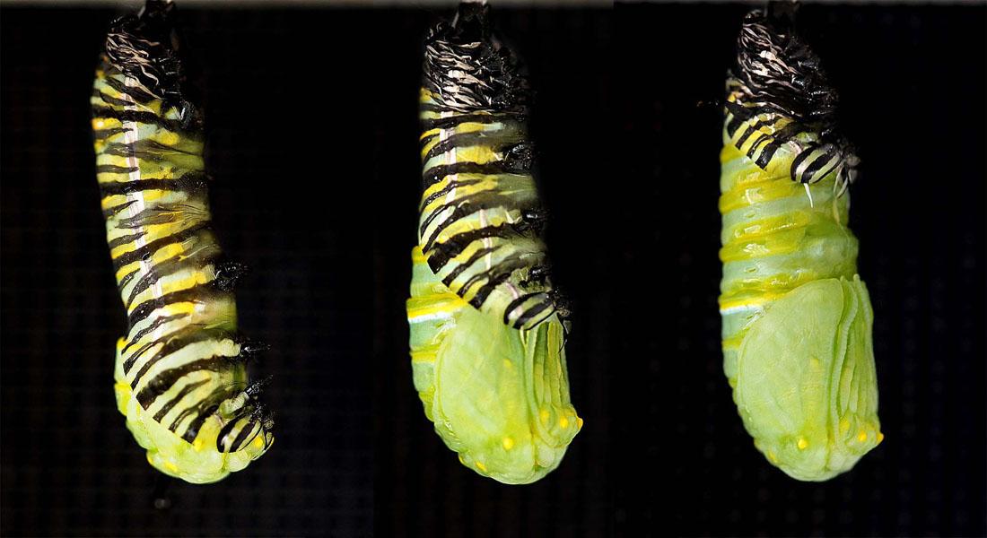 1436 Метаморфозы и рождение бабочки монарха