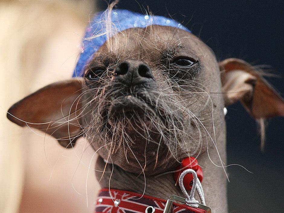 1498 Конкурс на самую уродливую собаку 2012