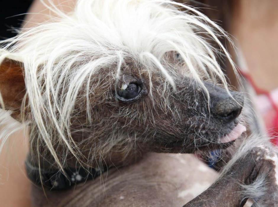 1499 Конкурс на самую уродливую собаку 2012