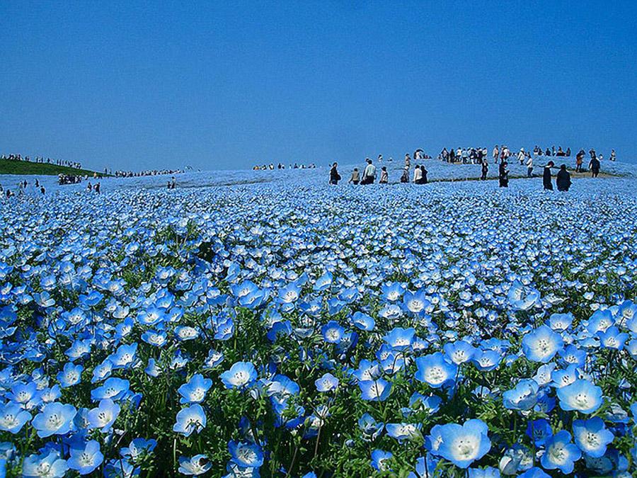 1727 Рассветная страна цветов «Hitachi Seaside Park»
