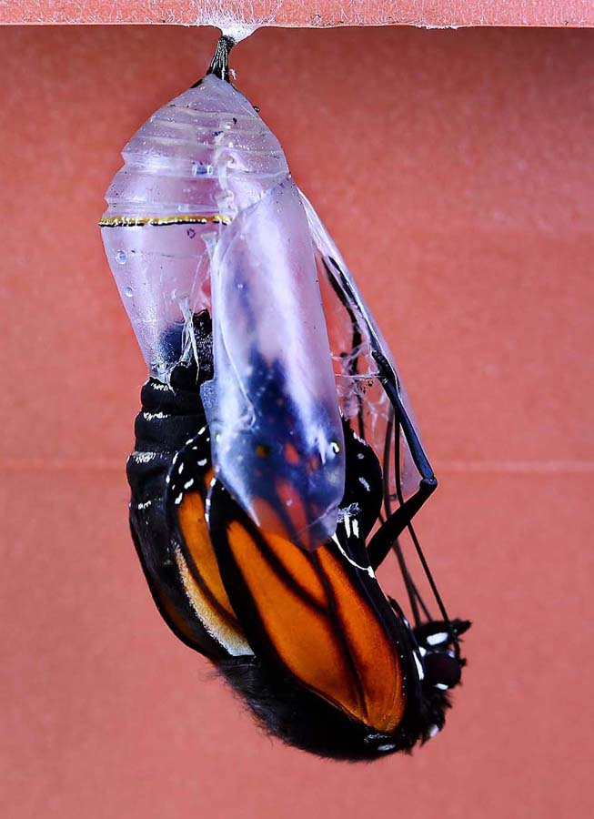 1833 Метаморфозы и рождение бабочки монарха