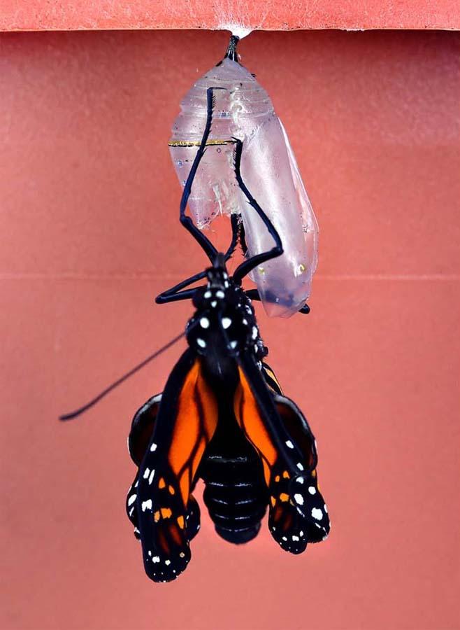 2029 Метаморфозы и рождение бабочки монарха