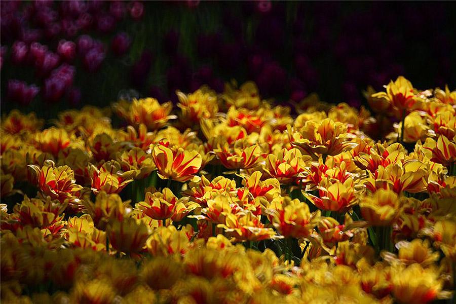 2225 Рассветная страна цветов «Hitachi Seaside Park»