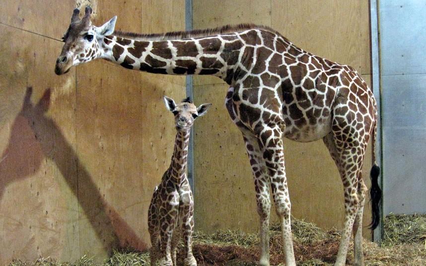 2262 Новорожденный жираф в Бристольском зоопарке