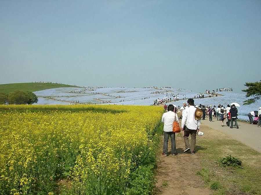 2323 Рассветная страна цветов «Hitachi Seaside Park»