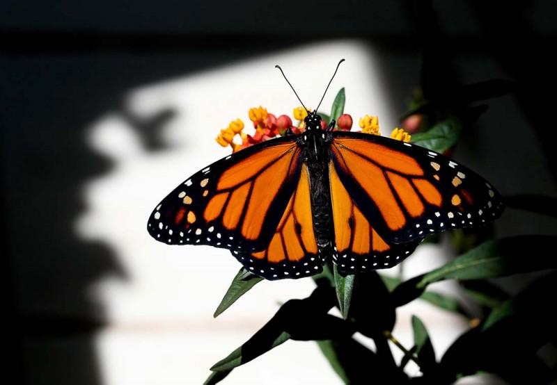 2326 800x554 Метаморфозы и рождение бабочки монарха