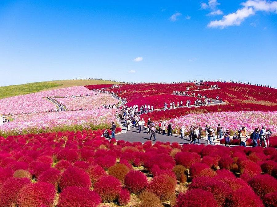 2421 Рассветная страна цветов «Hitachi Seaside Park»