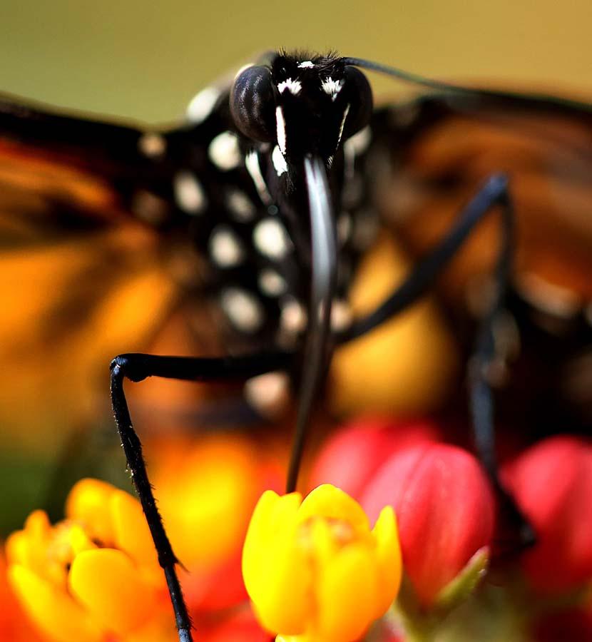 2424 Метаморфозы и рождение бабочки монарха