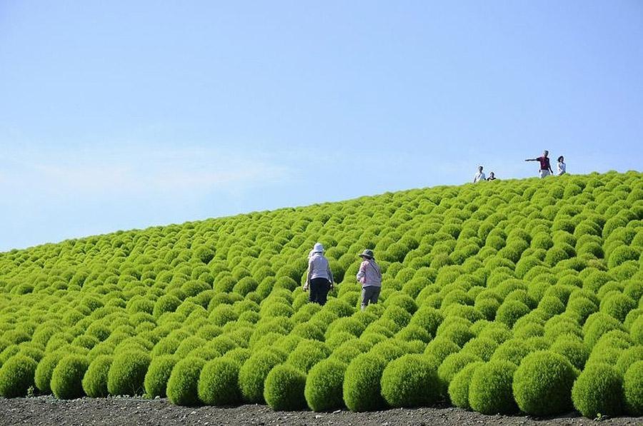 2521 Рассветная страна цветов «Hitachi Seaside Park»