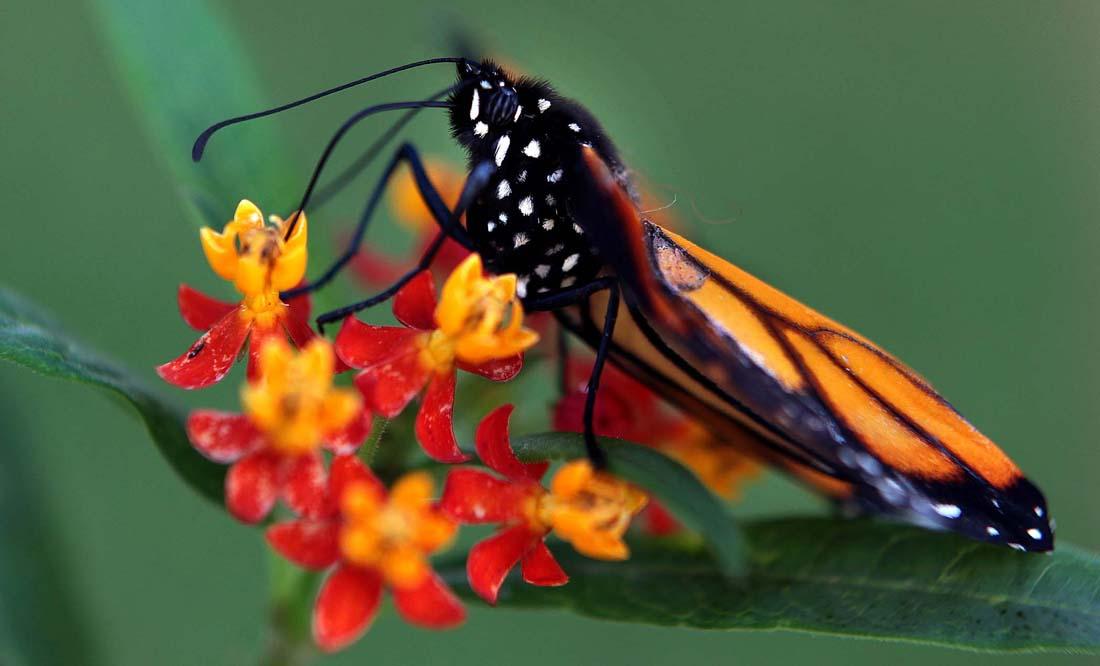 2524 Метаморфозы и рождение бабочки монарха