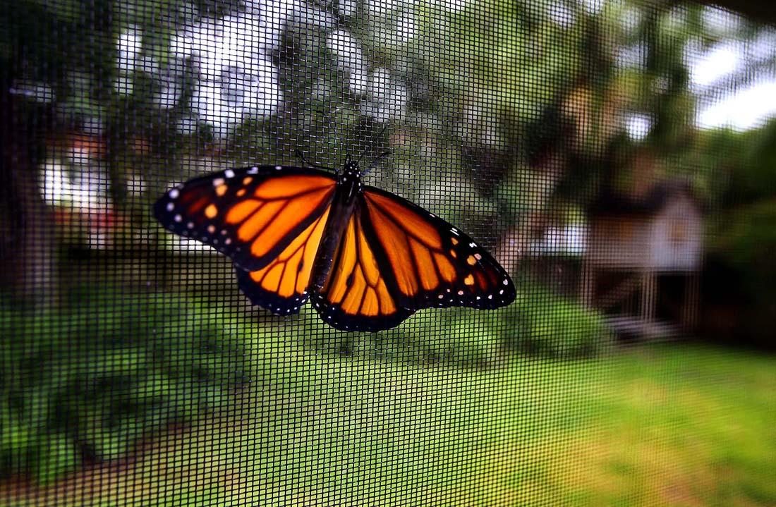 2619 Метаморфозы и рождение бабочки монарха