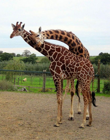 3182 Новорожденный жираф в Бристольском зоопарке