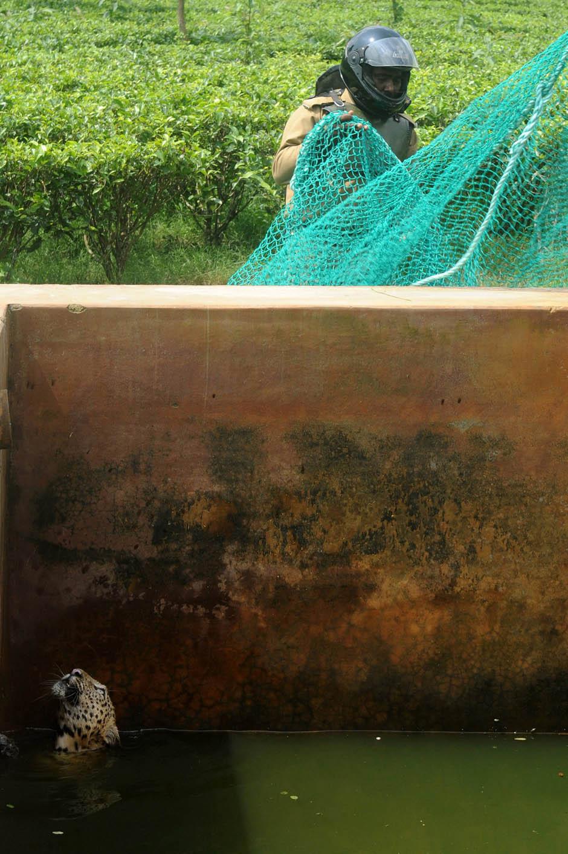 3190 Осталось восемь жизней   дикий леопард спасся, упав в резервуар с водой