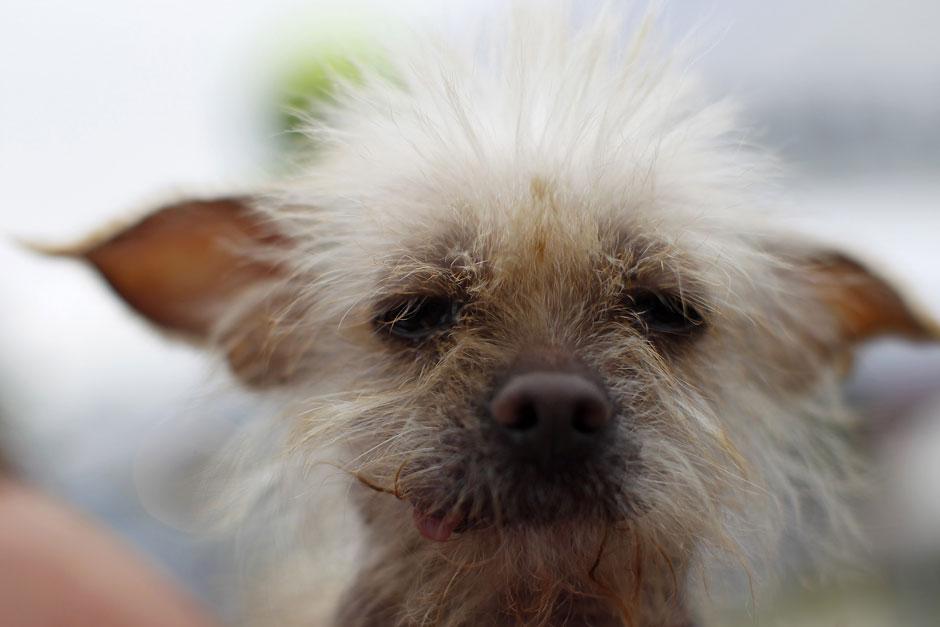 3238 Конкурс на самую уродливую собаку 2012